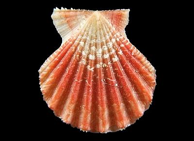 Antillipecten antillarum