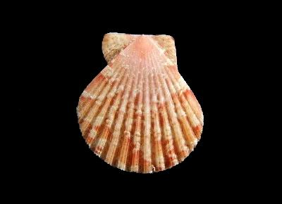 Anguipecten picturatus